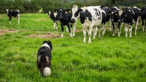 Carew bravely facing a group of cattle