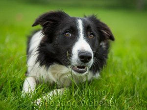 Black and white border collie lying down and waiting to play