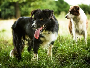 Young black Border collie sheepdog