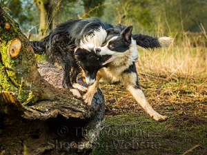 Border collie puppies playing on a log