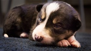 Tricolour border collie puppy