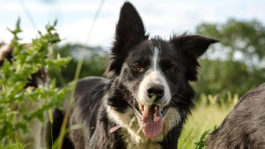 training a sheepdog - a complete session with Tess