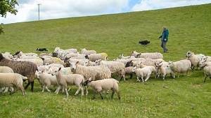 Photo of Andy with Carew and Kay gathering sheep on a hill
