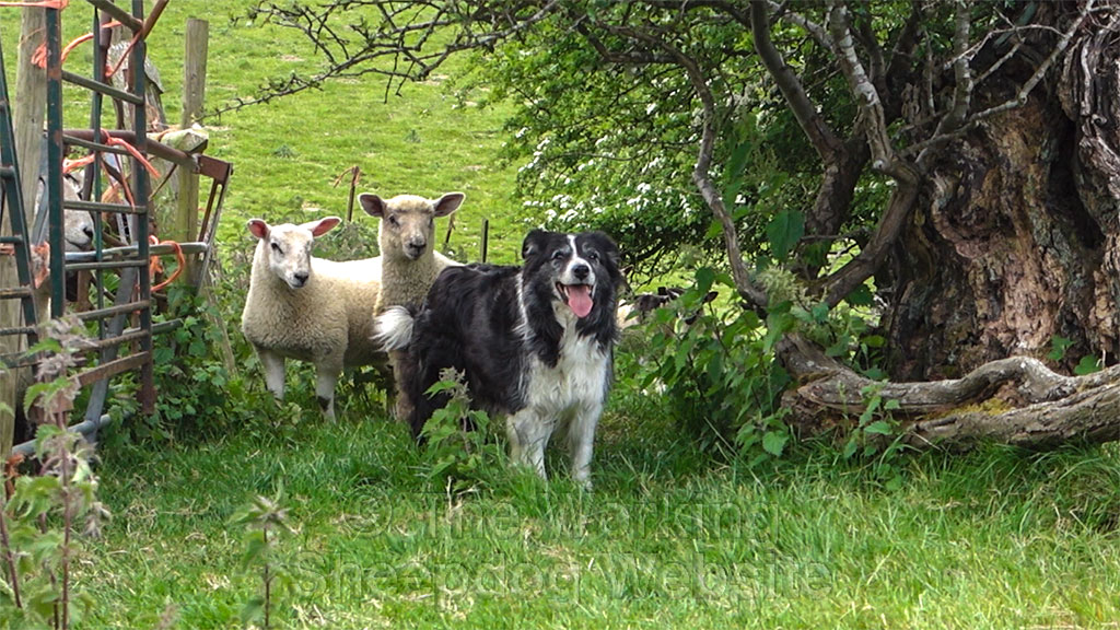 Sheepdog Mo being watched very closely by two lambs