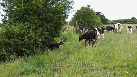 Carew is challenged by an over-enthusiastic calf