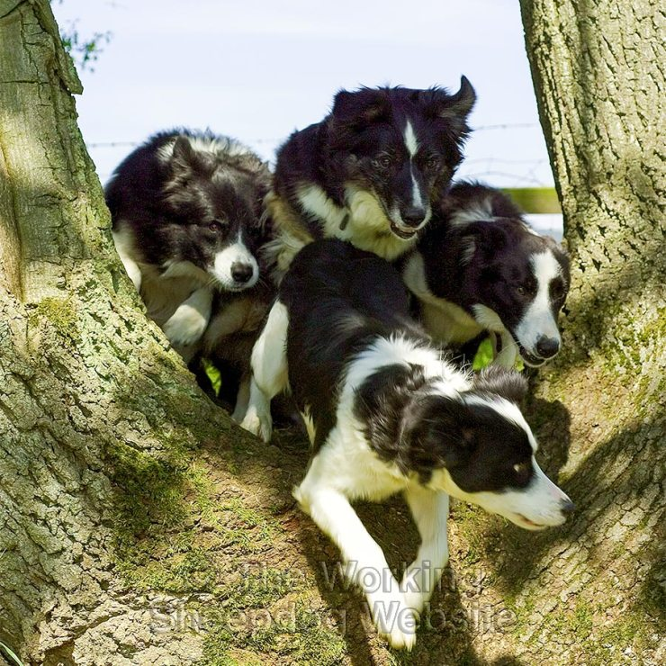 Four dogs jumping through the fork in the trunk of an oak tree