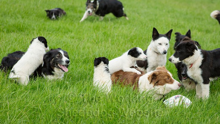 Some of our sheepdogs and puppies relaxing in the field.