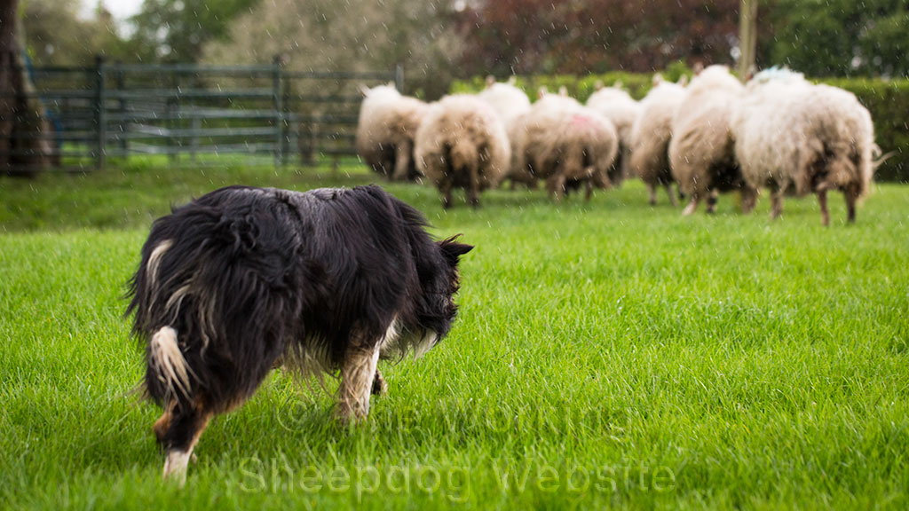 Ricky keeps control of his sheep during training
