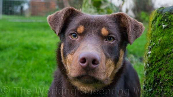 Close up photo of Kelpie Will looking at the camera