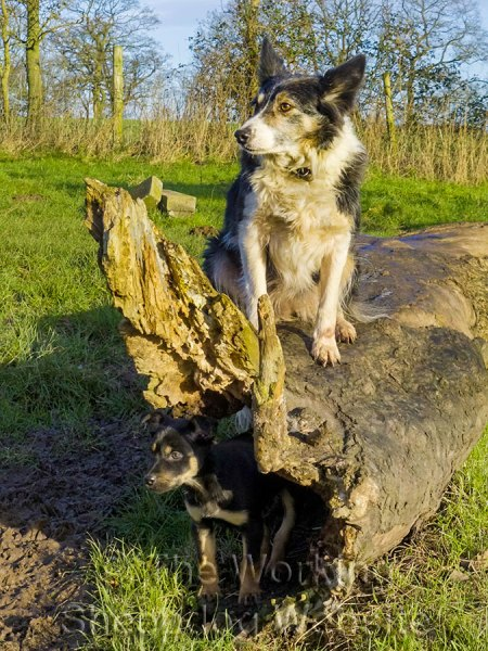 Border collie with Kelpie puppy