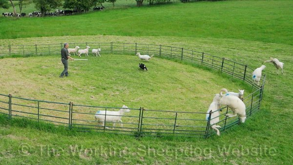 Sheep jumping out of a training ring