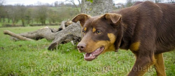 Red and tan Australian Kelpie sheepdog