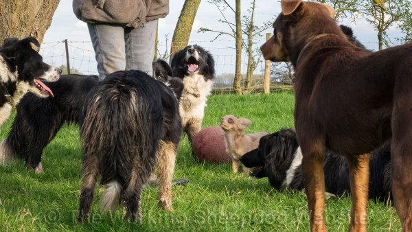Tiny Chihuahua pup with Border collies and a Kelpie