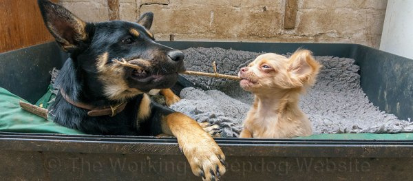 Kelpie pup playing with a Chihuahua puppy