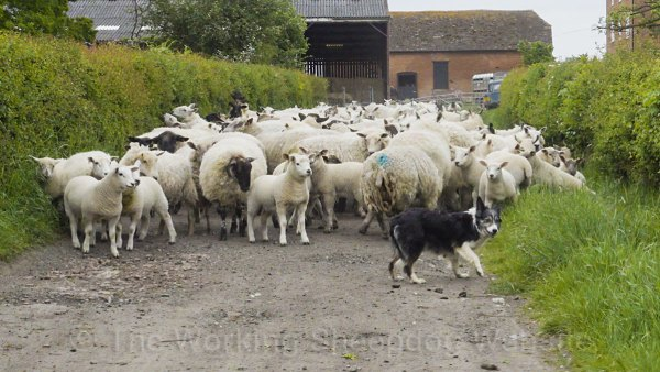 Kay turns away as one of the lambs challenges her