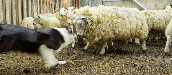 When challenged, Bronwen reacted quickly and decisively. Here she bites the nose of a challenging ewe