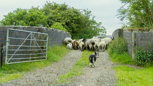 Herding sheepdog Kay looks back at Andy. The dog looking back at the handler is usually a sign of the dog's lack of confidence in its work