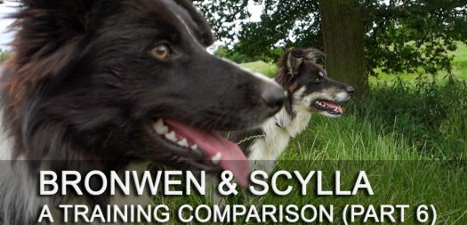 Herding sheepdog tutorial comparing the training of litter sisters, Bronwen and Scylla