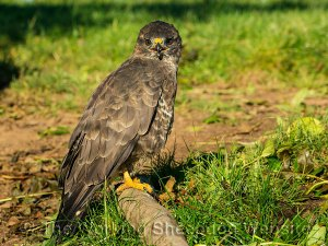 Close-up of a buzzard perched on a branch on the ground.