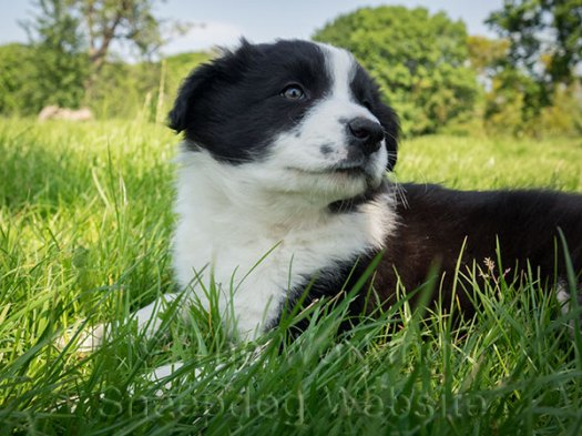 Closeup of a border collie puppy in the sunshine