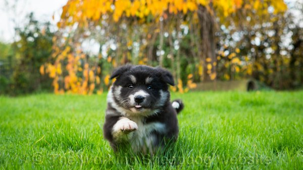 Border collie sheepdog puppy Mew bounding towards the camera
