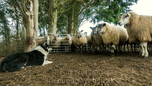 Several ewes are facing Bronwen and staring at her, but she's simply lying on the ground, almost daring them to make a move