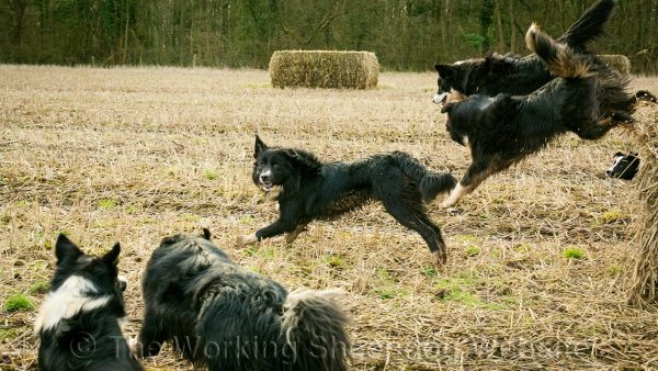 Five of our herding sheepdogs jumping off a straw bale in a field