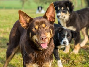 Close up of Kelpie Molly, facing the camera, with border collie puppies Maddie and Mew close behind her
