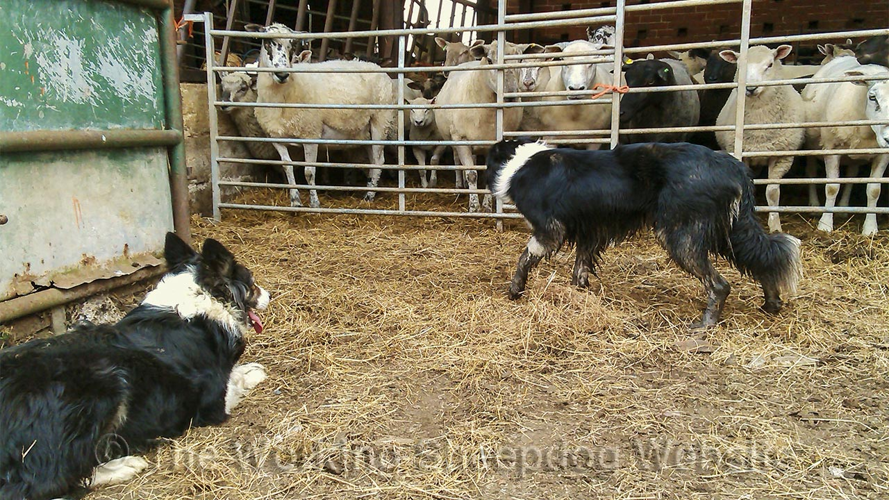 Photo of Kay (lying down on the left) and Carew (standing) keeping an eye on the sheep they have just put into some buildings