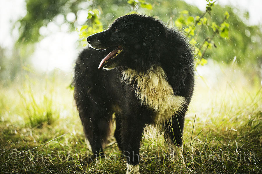 Lovely close up photo of the big sheepdog, Ezra looking to his right as he shelters from the rain under a tree