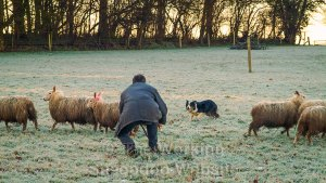 Andy crouching down and encouraging his dog to come through a small bunch of sheep