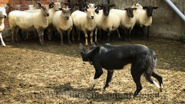Trainee sheep and cattle herding dog Jet, calmly holding a dozen sheep in the corner of a yard