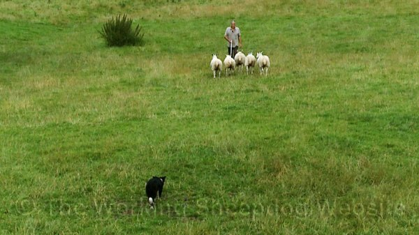 Photo of a sheepdog trainer walking away from the camera with a dog bringing five sheep up towards him