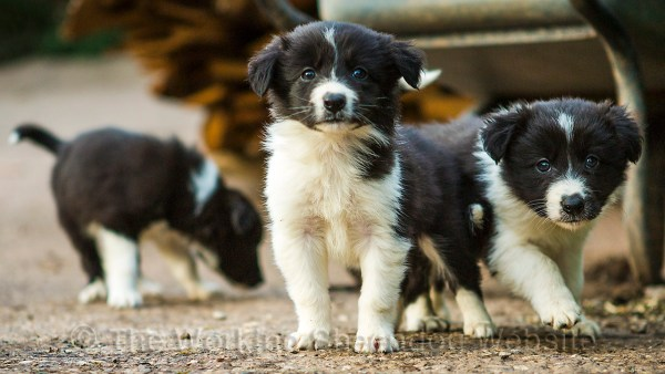 Two rough coated border collie puppies in the foreground facing the camera with another one sniffing around in the background