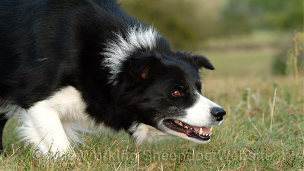 Closeup photo of a black and white rough coated sheepdog staring intensely at something. This can be a sign that the dog has what's known as too much eye