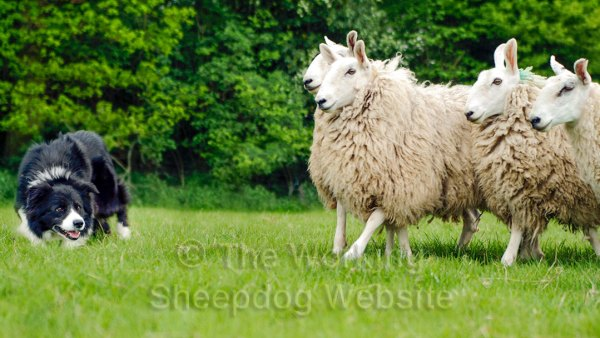 Close up photo of a rough coated border collie sheepdog working very close to some sheep