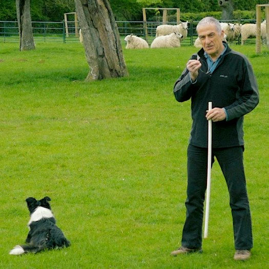 Andy prepares to work sheepdog Bronwen on whistle commands