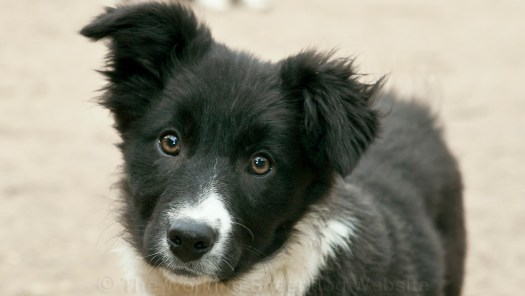 Black and white smooth coated collie puppy looking cute