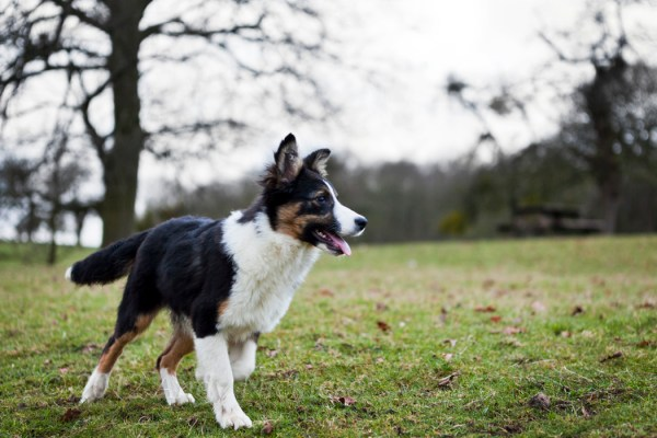 Tricoloured border collie puppy in an open field