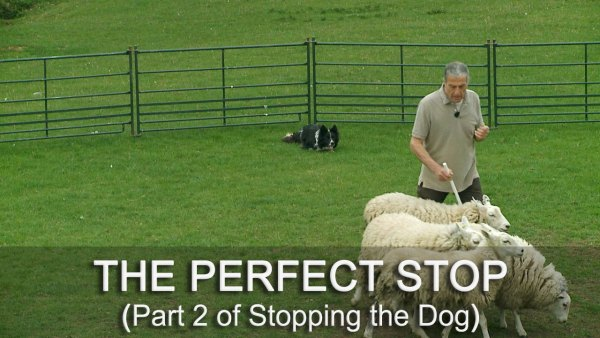 Improve the stop of your herding cattle or sheepdog without damaging the dog's confidence
