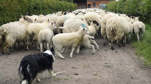 Sheepdog driving ewes and lambs along a farm track to the yard.