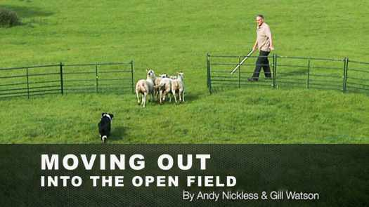 Sheepdog training in a training ring