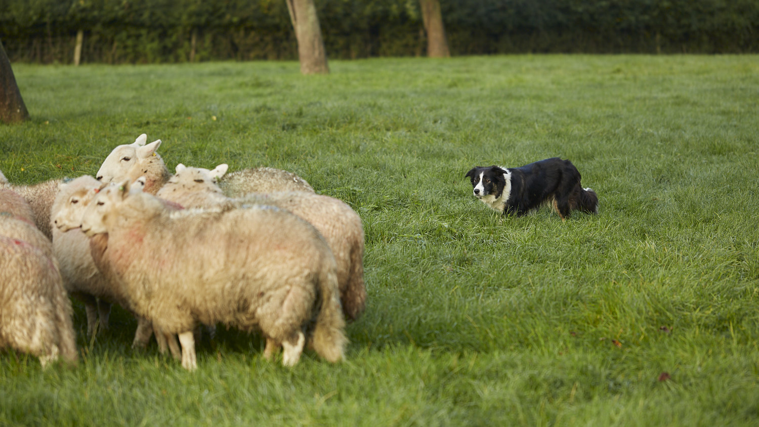 Young sheepdog working off balance