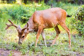 korean deer