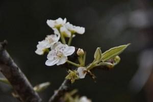 white flowers in spring haiku