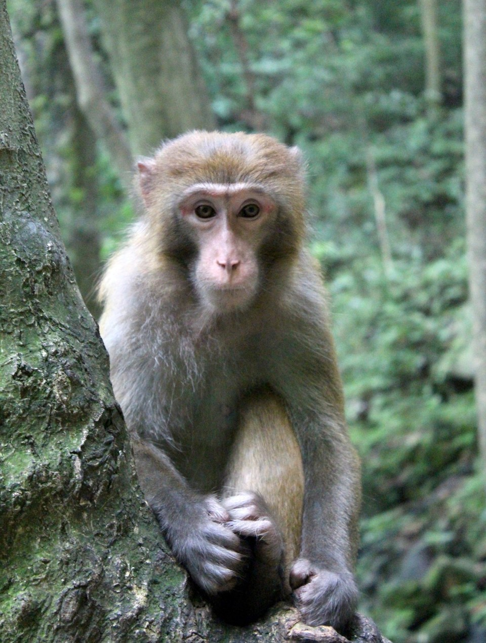 Zhangjiajie Forest Monkey 3
