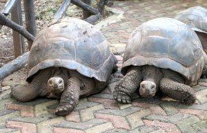 Gigantic Turtles Prison Island Zanzibar