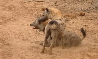 Hyenas – possibly females.