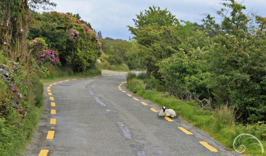 Ring-of-Kerry_Sheep-in-the-Road