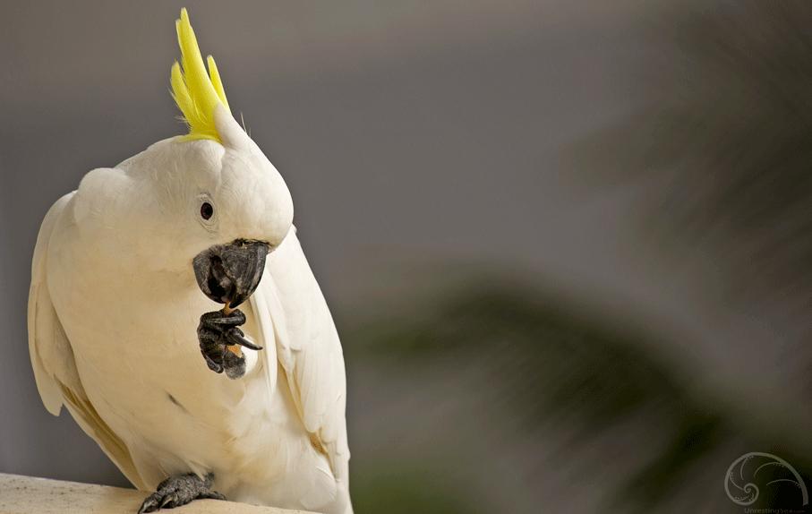 Cockatoo on Hamilton Island